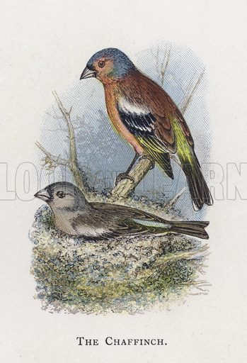The Chaffinch. Illustration for Sketch Book of British Birds by R Bowdler Sharpe (SPCK, 1898).