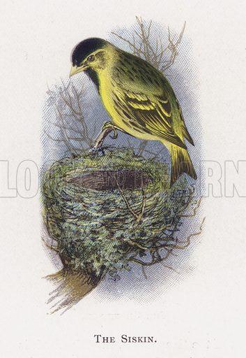 The Siskin. Illustration for Sketch Book of British Birds by R Bowdler Sharpe (SPCK, 1898).