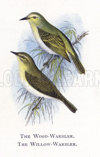 The Wood-Warbler, The Willow-Warbler. Illustration for Sketch Book of British Birds by R Bowdler Sharpe (SPCK, 1898).