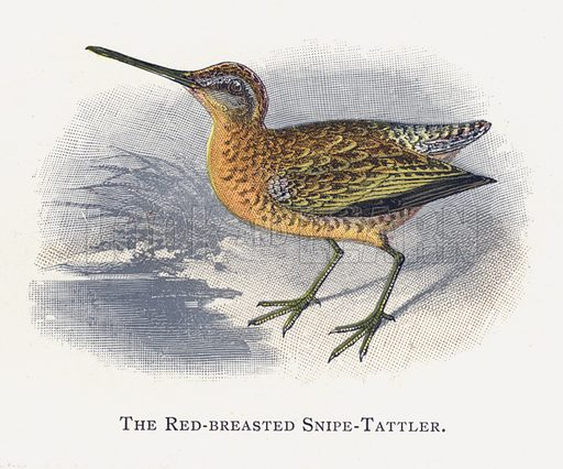 The Red-breasted Snipe-Tattler. Illustration for Sketch Book of British Birds by R Bowdler Sharpe (SPCK, 1898).