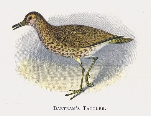 Batram's Tattler. Illustration for Sketch Book of British Birds by R Bowdler Sharpe (SPCK, 1898).