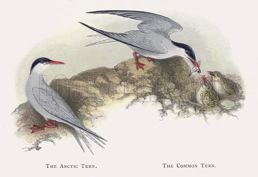 The Arctic Tern, The Common Tern. Illustration for Sketch Book of British Birds by R Bowdler Sharpe (SPCK, 1898).