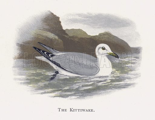 The Kittiwake. Illustration for Sketch Book of British Birds by R Bowdler Sharpe (SPCK, 1898).