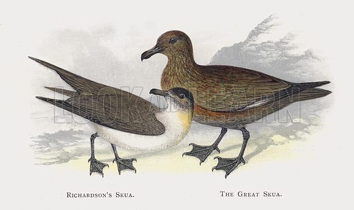 Richardson's Skua, The Great Skua. Illustration for Sketch Book of British Birds by R Bowdler Sharpe (SPCK, 1898).