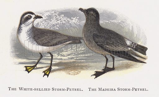 The White-bellied Storm-Petrel, The Madeira Storm-Petrel. Illustration for Sketch Book of British Birds by R Bowdler Sharpe (SPCK, 1898).