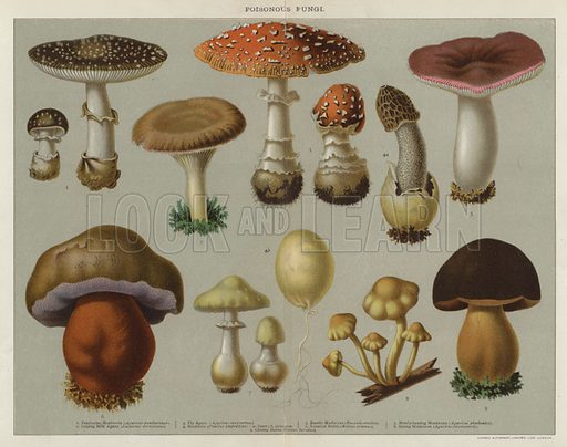 Poisonous Fungi. Illustration for The Family Physician (Cassell, c 1900).