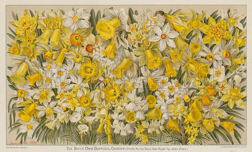 The Boy's Own Daffodil Garden. Illustration from The Boy's Own Paper, 1901.