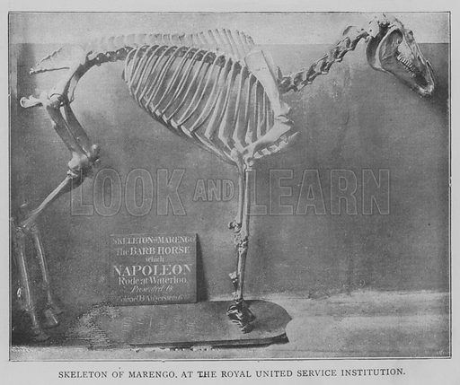 Skeleton of Marengo, at the Royal United Service Institution. Illustration for The Picture Magazine, 1893.
