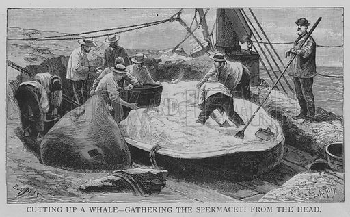 Cutting up a Whale, Gathering the Spermaceti from the Head. Illustration for The Picture Magazine, 1893.
