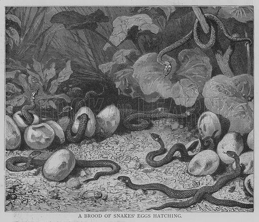 A Brood of Snakes' Eggs Hatching. Illustration for The Picture Magazine, 1893.