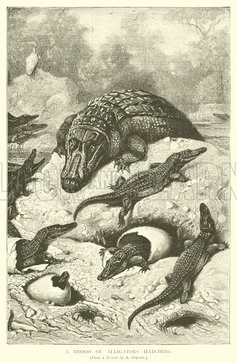A Brood of Alligators Hatching. Illustration for The Picture Magazine, 1893.