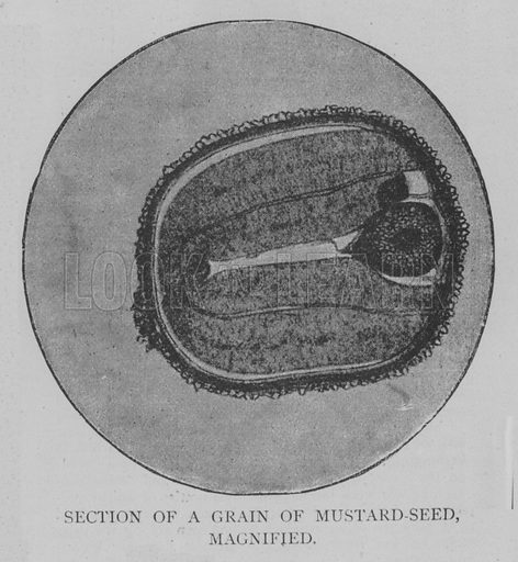 Section of a Grain of Mustard-Seed, Magnified. Illustration for The Picture Magazine, 1893.