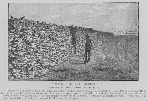 A Wall of Buffalo Skulls. Illustration for The Picture Magazine, 1893.