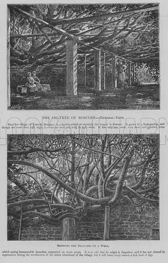The Fig-Tree of Roscoff, General View. Illustration for The Picture Magazine, 1894.