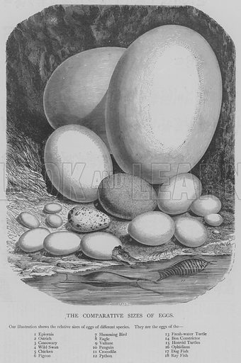 The Comparative Sizes of Eggs. Illustration for The Picture Magazine, 1894.