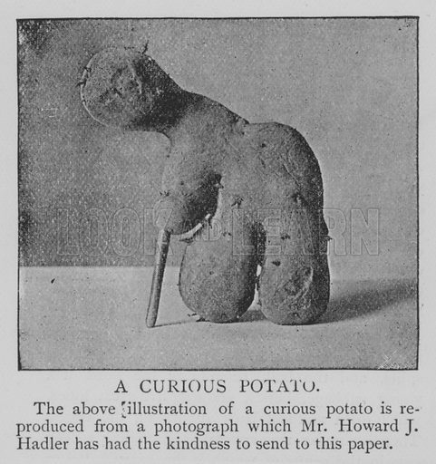A Curious Potato. Illustration for The Picture Magazine, 1894.