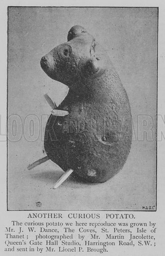 Another Curious Potato. Illustration for The Picture Magazine, 1894.