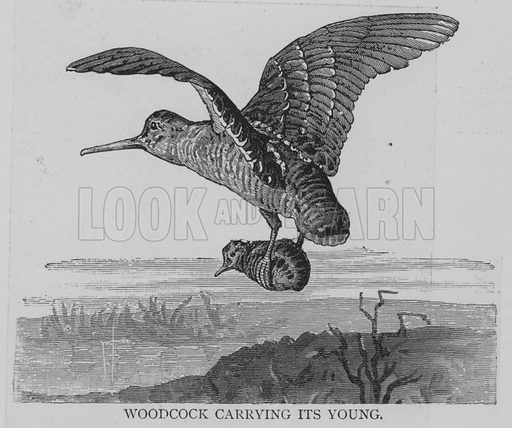 Woodcock Carrying its Young. Illustration for The Picture Magazine, 1894.