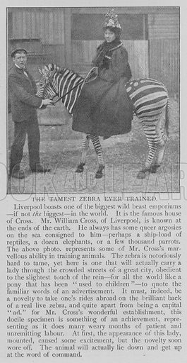 The Tamest Zebra Ever Trained. Illustration for The Strand Magazine, 1897.