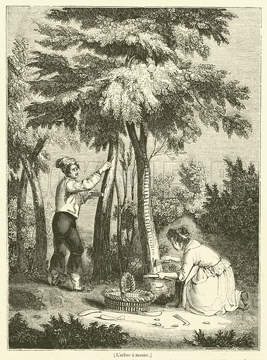L'arbre a manne. Illustration for Le Magasin Pittoresque (1834).