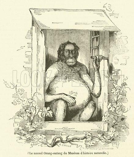 Le nouvel Orang-outang du Museum d'histoire naturelle. Illustration for Le Magasin Pittoresque (1836).