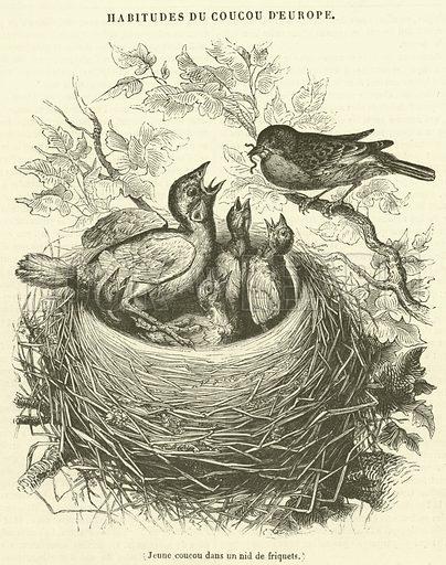 Jeune coucou dans un nid de friquets. Illustration for Le Magasin Pittoresque (1839).