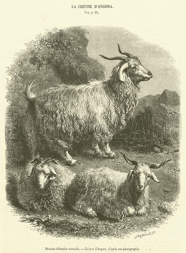 Museum d'histoire naturelle, Chevres d'Angora. Illustration for Le Magasin Pittoresque (1856).