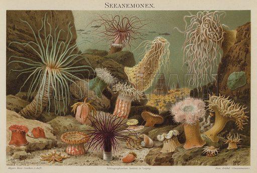 Sea anemones. Illustration from Meyer's Konversations-Lexicon, c1895.