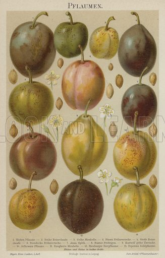 Plums. Illustration from Meyer's Konversations-Lexicon, c1895.