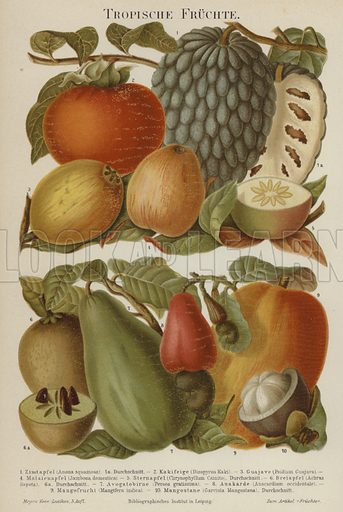 Tropical fruits. Illustration from Meyer's Konversations-Lexicon, c1895.