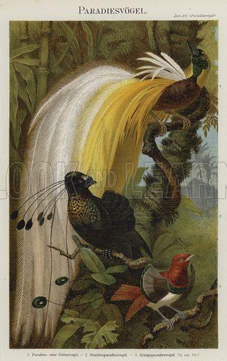 Birds of Paradise. Illustration from Meyer's Konversations-Lexicon, c1895.