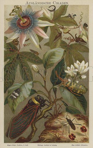 Cicadas. Illustration from Meyer's Konversations-Lexicon, c1895.