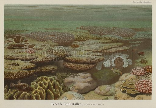 Living reef corals. Illustration from Meyer's Konversations-Lexicon, c1895.