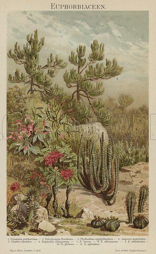 Euphorbias. Illustration from Meyer's Konversations-Lexicon, c1895.