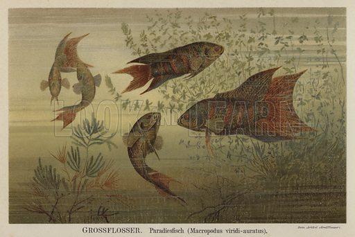 Paradise fish. Illustration from Meyer's Konversations-Lexicon, c1895.