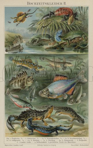 Breeding colouration in reptiles, fish and newts. Illustration from Meyer's Konversations-Lexicon, c1895.
