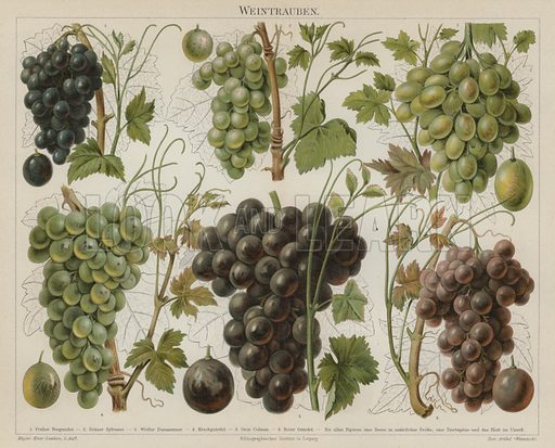 Grapes. Illustration from Meyer's Konversations-Lexicon, c1895.