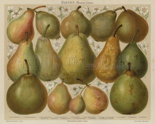 Pears. Illustration from Meyer's Konversations-Lexicon, c1895.