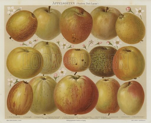 Apples. Illustration from Meyer's Konversations-Lexicon, c1895.