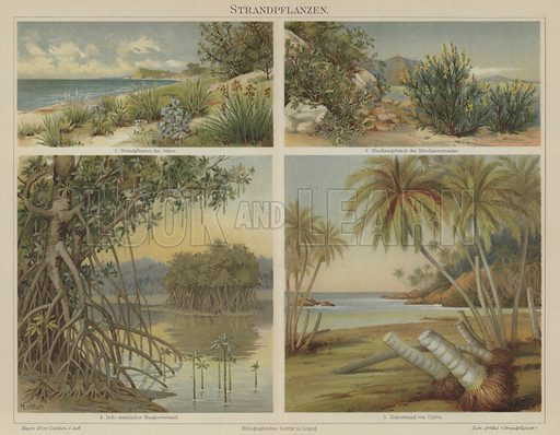 Beach plants. Illustration from Meyer's Konversations-Lexicon, c1895.