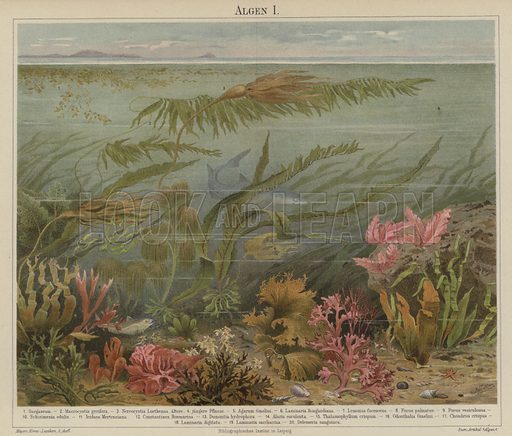 Seaweed. Illustration from Meyer's Konversations-Lexicon, c1895.