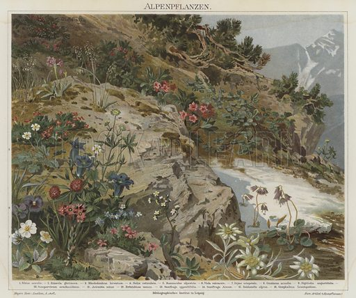 Alpine plants. Illustration from Meyer's Konversations-Lexicon, c1895.