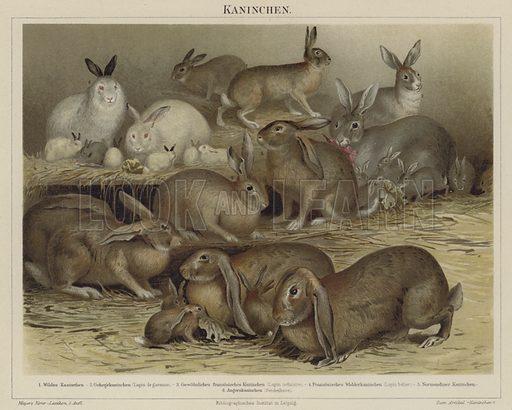 Rabbits. Illustration from Meyer's Konversations-Lexicon, c1895.