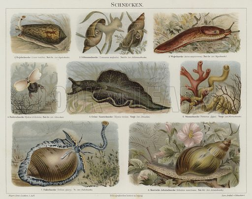 Snails. Illustration from Meyer's Konversations-Lexicon, c1895.