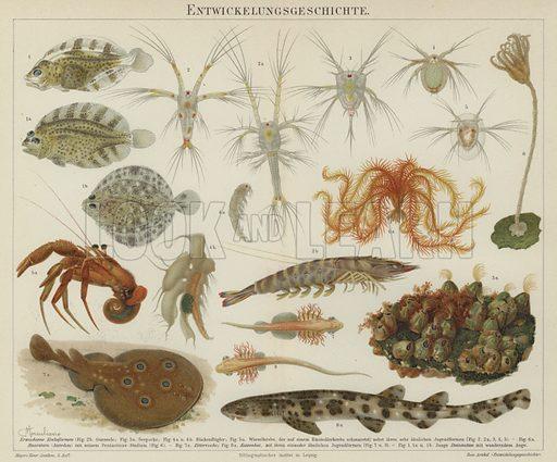 Development of marine life. Illustration from Meyer's Konversations-Lexicon, c1895.