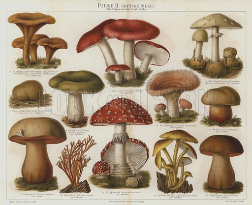 Poisonous fungi. Illustration from Meyer's Konversations-Lexicon, c1895.