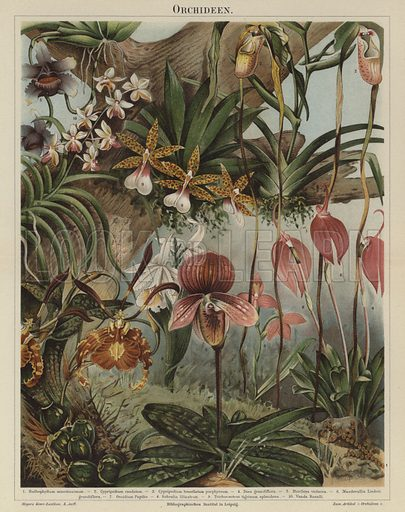 Orchids. Illustration from Meyer's Konversations-Lexicon, c1895.