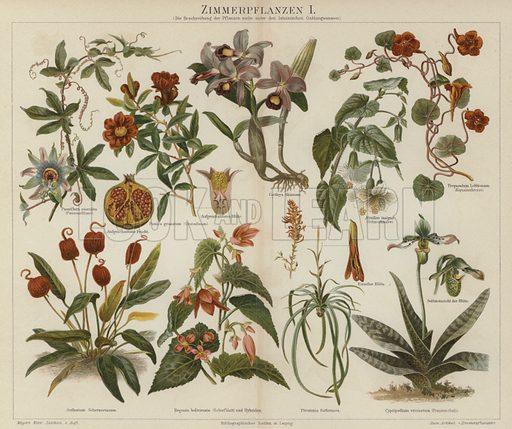 Houseplants. Illustration from Meyer's Konversations-Lexicon, c1895.