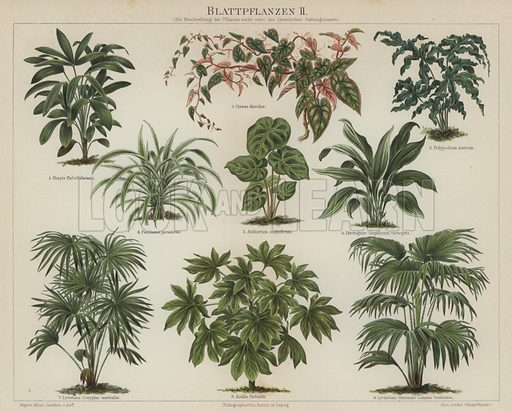 Foliage plants. Illustration from Meyer's Konversations-Lexicon, c1895.
