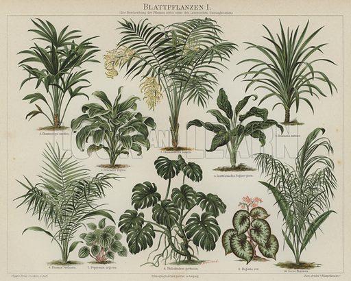 Foliage plants. Illustration from Meyer's Konversations-Lexicon, c1895.